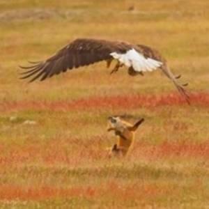 بالفيديو  معركة شرسة بين ثعلب ونسر من أجل فريسة