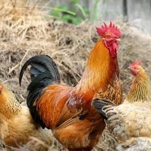 جماعة إسبانية تتهم الديوك باغتصاب الدجاج: الأمر