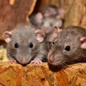 """تحذير.. كورونا قد يحوّل الفئران إلى """"آكلي لحوم بشر"""""""