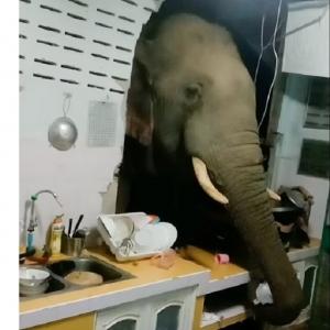 «صحيوا لاقوه في المطبخ».. فيل يخترق جدار منزل لسرقة كيس أرز «فيديو»