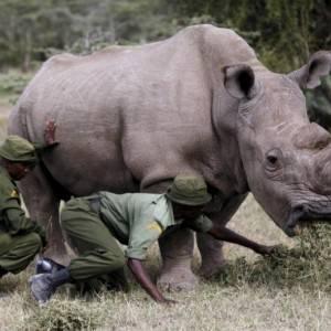 بعد نفوق آخر ذكر من السلالة.. 10 معلومات عن وحيد القرن الأبيض الشمالي
