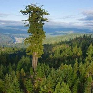 بعد تغليف جذورها لإنقاذها من الاحتراق.. 5 معلومات عن أشجار السيكويا