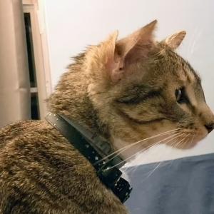 قط نادر لديه 4 أذان يحظى بشهرة كبيرة على السوشيال ميديا: عنده متابعين