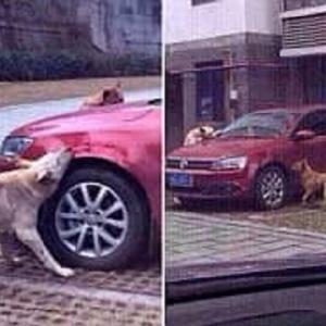 """""""أيقظه من النوم"""".. كلب يجمع أصدقائه وينتقم من سائق سيارة"""