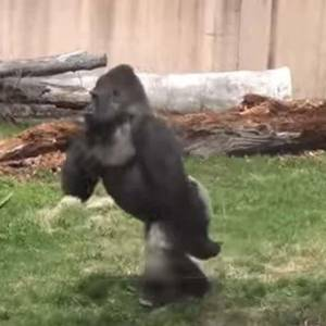 بالفيديو  غوريلا تقلد الإنسان وتعشق النظافة