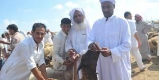 بورسعيد: مربو الماشية يهربون من «القابوطى» بسبب الأوبئة