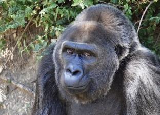 من أصل أفريقي.. وفاة أكبر غوريلا في العالم داخل حديقة حيوان أمريكية