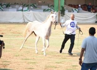 الجمعة.. جمصة تستضيف مهرجان الدقهلية للخيول العربية الأصيلة