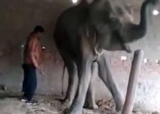 بالفيديو| تعذيب أنثى فيل حتى الموت في الهند