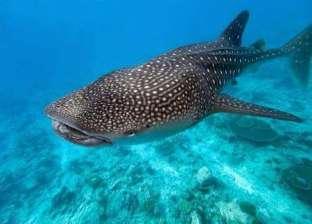 """""""الإنقاذ البحري"""": ظهور القرش الحوتي """"بهلول"""" بمياه الغردقة"""