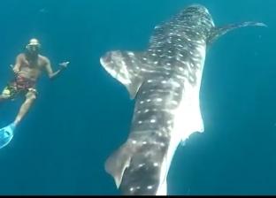 صور.. القرش الحوتي يقضي العيد مع السائحين في الغردقة