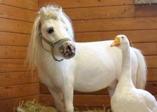 الصحاب يلا.. حصان وإوزة يبدآن حياة جديدة بعد إنقاذهما من إساءة معاملة