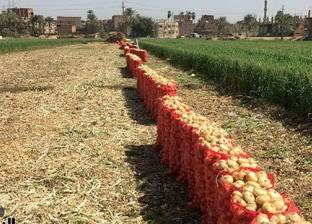 خبير زراعي يوضح كيفية تجنب أضرار الأمطار الغزيرة بمحصول البصل