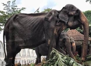 التحقيق مع منظمي مهرجان بوذي لإشراك فيل مسن هزيل في مسابقة