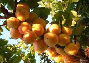 """""""الزراعة"""" تقدم 10 توصيات فنية لأشجار فاكهة الخوخ والمشمش"""