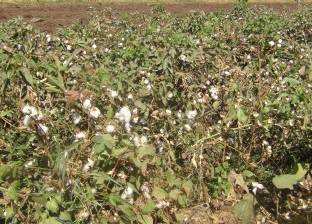 """""""زراعة الفيوم"""": حصد 11819 فدانا من القطن حتى بداية الأسبوع"""