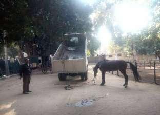 مجلس مدينة شبرا: مصادرة حيوانات عربات الكارو المخالفة