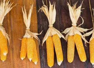 """""""زراعة البحيرة"""": حالة محصول الذرة الشامية جيدة"""