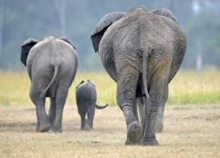 """""""إن جه النحل أهرب يا فيل"""".. لماذا تفر الأفيال من النحل؟"""