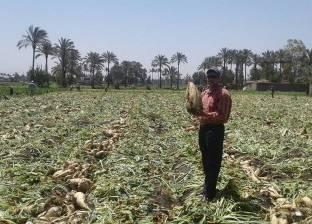 """""""زراعة كفر الشيخ"""" تعلن بدء زراعة 42 ألف فدان من البنجر"""