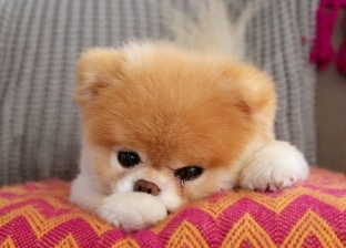 """حزنا على صديقه.. الاكتئاب يقتل """"ألطف"""" كلب في العالم"""
