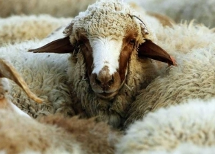غرامة 2000 ريال لمن يتعاملون بطريقة غير إنسانية مع الماشية بالسعودية