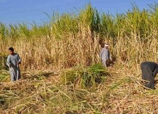 تفاصيل مناقصة «السلع التموينية» لشراء 200 ألف طن من سكر القصب الخام