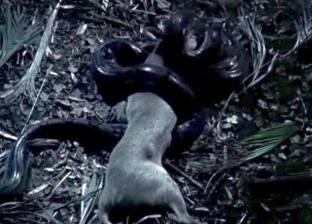 بالفيديو  ثعبان ضخم يبتلع غزالة