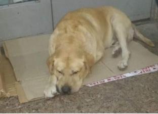 """في الأرجنتين.. الكلب """"توتو"""" يمكث أمام المستشفى رغم وفاة صاحبه"""