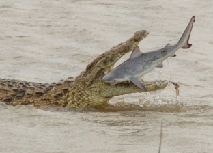 تمساح يأكل سمكة قرش ويبتلعها مرة واحدة: لم تقاوم.. «صور»