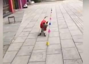 بالفيديو| كلب يكتسب شهرة واسعة بفضل مهاراته في التزلج