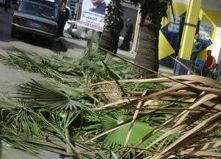إدارة الحدائق بحي وسط بالإسكندرية تتابع أعمال تقليم الأشجار