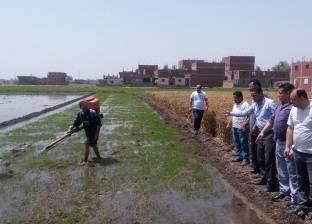 زراعة أكثر من 14 ألف فدان من محصول الأرز في كفر الشيخ