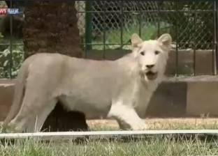 """بعد دمارها في """"غزو العراق"""".. حديقة حيوان """"الزوراء"""" تعرض شبل أبيض نادر"""