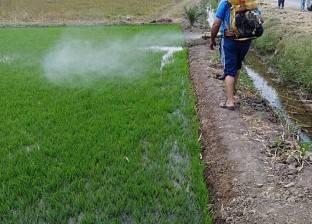 زراعة أكثر من 156 ألف فدان من محصول الأرز في كفر الشيخ