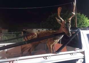 شرطة البيئة تنقذ غزالا محتجزا بأحد محال جزارة الإسكندرية