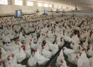 شعبة الدواجن: أربعة جنيهات تراجعاً فى كيلو «الحى».. وسعر البيض مستقر