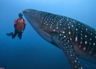 """""""الإنقاذ البحري"""": القرش الحوتي صديق للإنسان.. """"ملوش أسنان عشان يعض"""""""