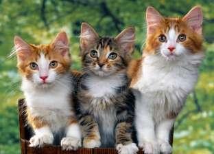رواد عبر «سوشيال ميديا» عن أكل القطط للحوم البشر: «القطة مش غدارة»