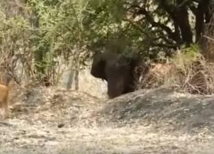 فيديو| كلب يتصدى لفيل اقتحم مزرعة في الهند