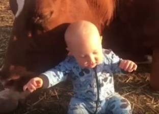 بالفيديو| طفل يلعب مع بقرة وزنها 500 كيلو