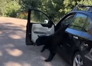 بالفيديو| دب يتسلل إلى سيارة ويحولها من الداخل إلى حطام