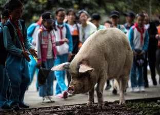 بسبب حمى الخنازير الإفريقية.. إعدام 916 ألف خنزير في الصين