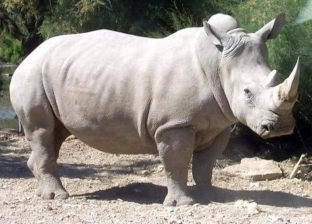 قرونه تحتوي على الكيرياتين.. 10 معلومات عن وحيد القرن الأبيض