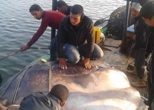بالصور| أهالي البحيرة يصطادون سمكة نادرة تزن طنا ونصف