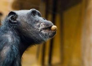 """غضب في الكونغو بسبب """"هجرة الحيوانات"""" إلى الصين"""