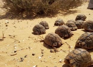 """""""إسكندرية لإنقاذ الحياة البرية"""" يعيد توطين 15 سلحفاة إلى الصحراء"""