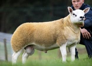 بيع أغلى خروف في العالم بـ7 ملايين جنيه في مزاد علني