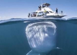 """بعد ظهوره مجددا في البحر الأحمر.. 10 معلومات عن القرش الحوتي """"بهلول"""""""