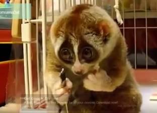 بالفيديو  حيوان الكسلان يتناول طعامه في مشهد نادر
